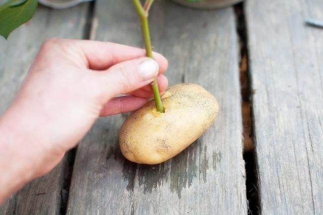 Выращивание розы из букета в картошке 27