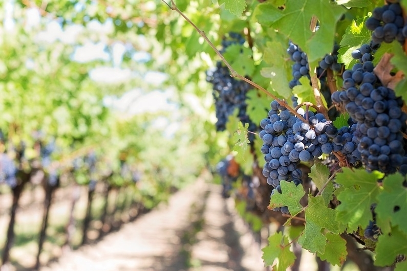Когда сажать виноград