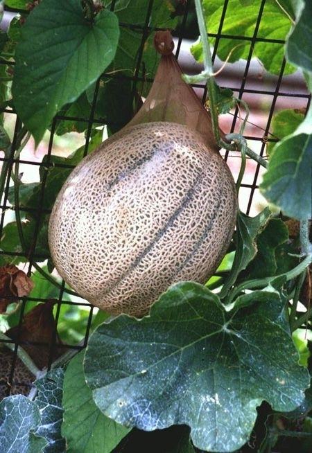 Подвязать ветки, стволы и плоды у растений в саду