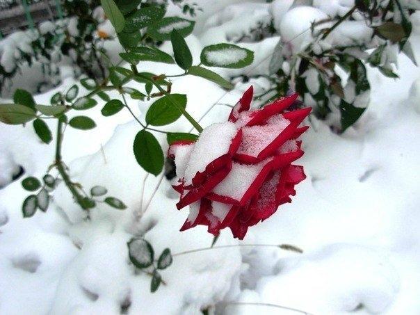 Какие растения нужно «утеплить» на зиму?